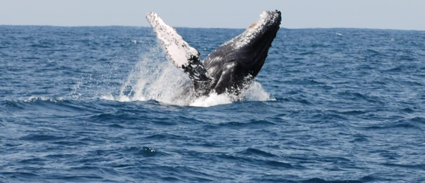 Humpback whale breaching: get ready for a big splash!